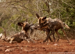 Wild-Dogs-copyright-photographers-on-safari-com-6456