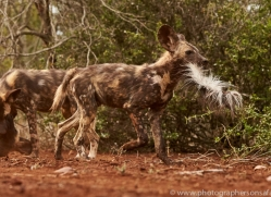 Wild-Dogs-copyright-photographers-on-safari-com-6457