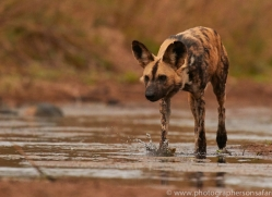 Wild-Dogs-copyright-photographers-on-safari-com-6460