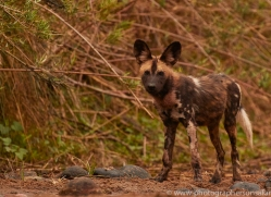 Wild-Dogs-copyright-photographers-on-safari-com-6461