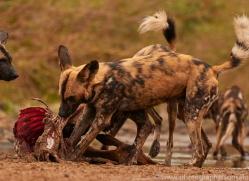 Wild-Dogs-copyright-photographers-on-safari-com-6462