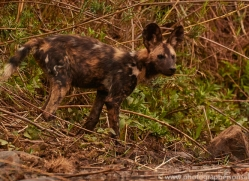 Wild-Dogs-copyright-photographers-on-safari-com-6464