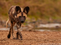 Wild-Dogs-copyright-photographers-on-safari-com-6465