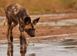 Wild-Dogs-copyright-photographers-on-safari-com-6466