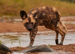 Wild-Dogs-copyright-photographers-on-safari-com-6467