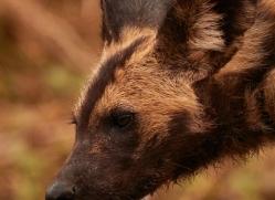 Wild-Dogs-copyright-photographers-on-safari-com-6468