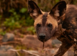Wild-Dogs-copyright-photographers-on-safari-com-6469