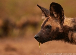 Wild-Dogs-copyright-photographers-on-safari-com-6471