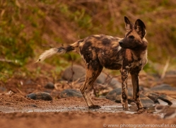 Wild-Dogs-copyright-photographers-on-safari-com-6473