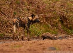 Wild-Dogs-copyright-photographers-on-safari-com-6474