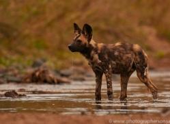 Wild-Dogs-copyright-photographers-on-safari-com-6475