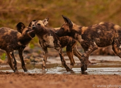 Wild-Dogs-copyright-photographers-on-safari-com-6476