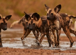 Wild-Dogs-copyright-photographers-on-safari-com-6478