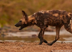 Wild-Dogs-copyright-photographers-on-safari-com-6481