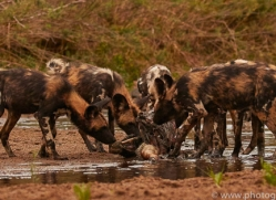 Wild-Dogs-copyright-photographers-on-safari-com-6484