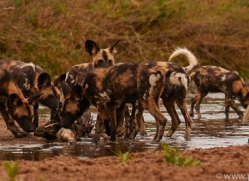 Wild-Dogs-copyright-photographers-on-safari-com-6485