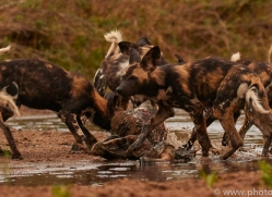 Wild-Dogs-copyright-photographers-on-safari-com-6486