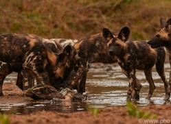 Wild-Dogs-copyright-photographers-on-safari-com-6487