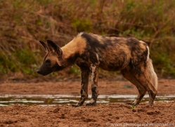 Wild-Dogs-copyright-photographers-on-safari-com-6489