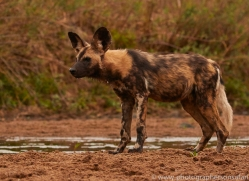 Wild-Dogs-copyright-photographers-on-safari-com-6490
