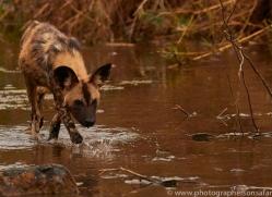 Wild-Dogs-copyright-photographers-on-safari-com-6491