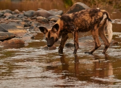 Wild-Dogs-copyright-photographers-on-safari-com-6492