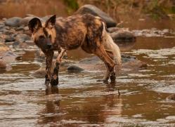 Wild-Dogs-copyright-photographers-on-safari-com-6493