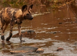 Wild-Dogs-copyright-photographers-on-safari-com-6494
