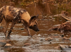 Wild-Dogs-copyright-photographers-on-safari-com-6495