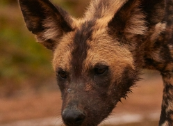 Wild-Dogs-copyright-photographers-on-safari-com-6496