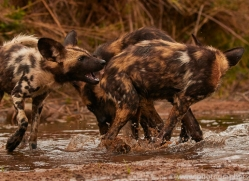 Wild-Dogs-copyright-photographers-on-safari-com-6497