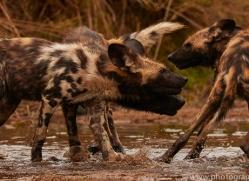 Wild-Dogs-copyright-photographers-on-safari-com-6499