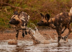 Wild-Dogs-copyright-photographers-on-safari-com-6500