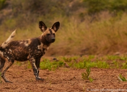 Wild-Dogs-copyright-photographers-on-safari-com-6501