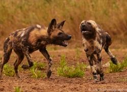 Wild-Dogs-copyright-photographers-on-safari-com-6502