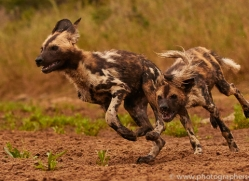 Wild-Dogs-copyright-photographers-on-safari-com-6503