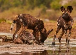Wild-Dogs-copyright-photographers-on-safari-com-6506