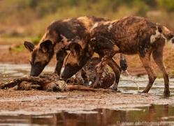Wild-Dogs-copyright-photographers-on-safari-com-6507