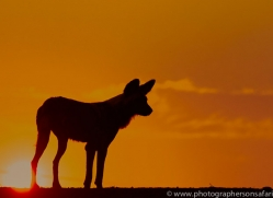 Wild-Dogs-copyright-photographers-on-safari-com-6508