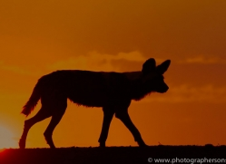 Wild-Dogs-copyright-photographers-on-safari-com-6509