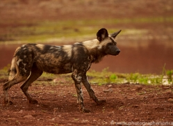 Wild-Dogs-copyright-photographers-on-safari-com-6516