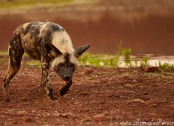 Wild-Dogs-copyright-photographers-on-safari-com-6517