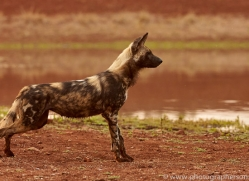 Wild-Dogs-copyright-photographers-on-safari-com-6518