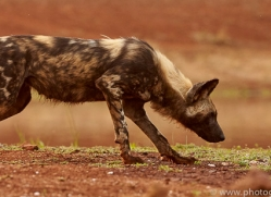 Wild-Dogs-copyright-photographers-on-safari-com-6519