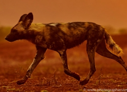 Wild-Dogs-copyright-photographers-on-safari-com-6520