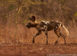 Wild-Dogs-copyright-photographers-on-safari-com-6521
