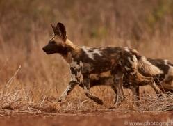 Wild-Dogs-copyright-photographers-on-safari-com-6522
