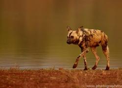 Wild-Dogs-copyright-photographers-on-safari-com-6523