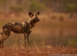 Wild-Dogs-copyright-photographers-on-safari-com-6525