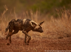 Wild-Dogs-copyright-photographers-on-safari-com-6526